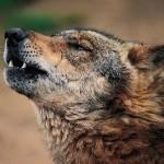 Foto de un lobo aullando